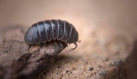 ダンゴムシは昆虫じゃない!?じゃあ、なんなのさ!